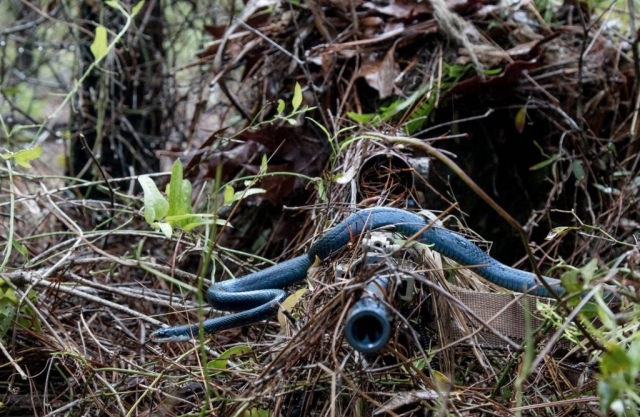 A southern black racer snake slithers across the barrel of Alabama Army National Guard sniper PFC William Snyder's rifle as he practices woodland stalking in a camouflaged ghillie suit during a 1st battalion, 173rd Infantry training exercise April 7, 2018, at Eglin Air Force Base. Alabama Army National Guard photo by SSG William Frye